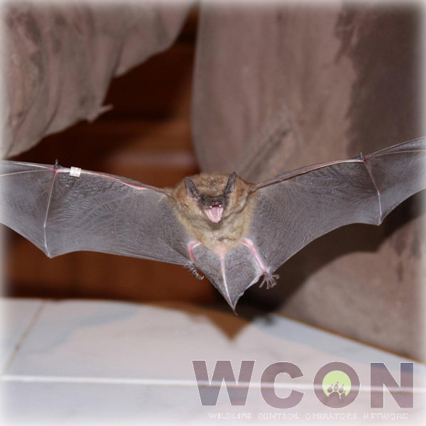 Professional Bat Removal service in Nevada